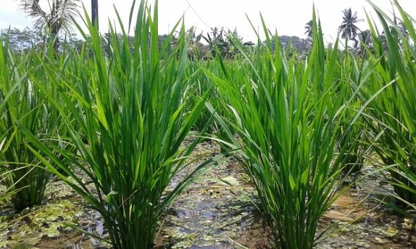 Jonge rijst